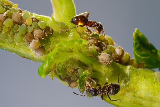 Une colonie de pucerons et de fourmis sur les plantes de jardin