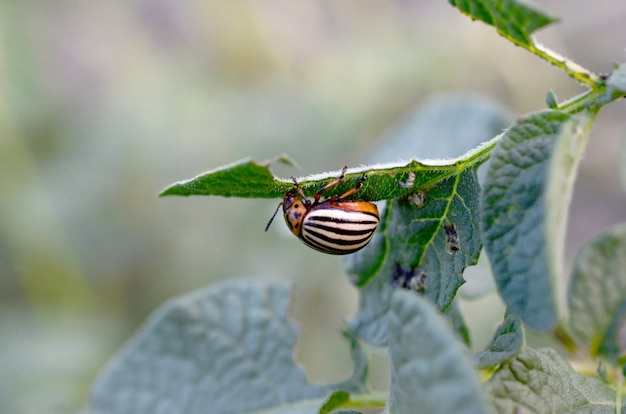 Colorado beetle de la pomme de terre leptinotarsa decemlineata rampant sur les feuilles de pomme de terre