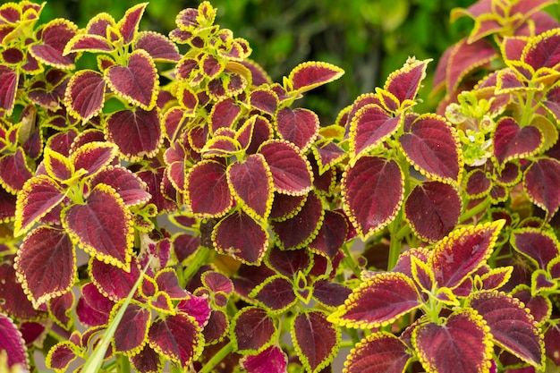 Coloré coleus ou arbre d'ortie peinte. plantes avec de belles feuilles
