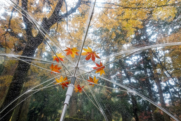 Coloré d'érable japonais tombé sur le parapluie