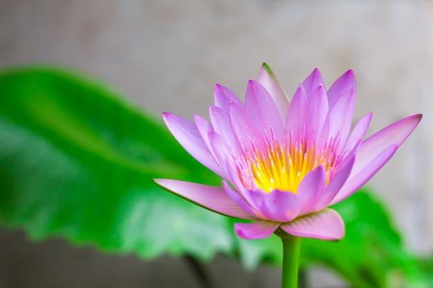 Coloré d'un lotus.