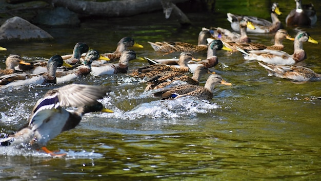 Colvert. canard sauvage au bord d'un étang