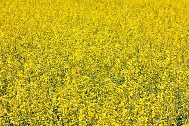 Colza, champ de fleurs jaunes