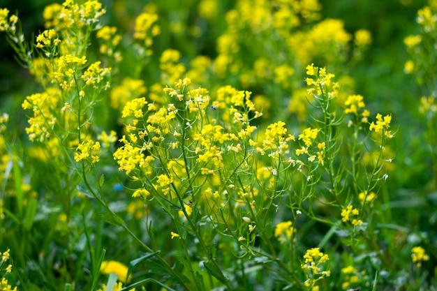 Colza des champs en fleurs