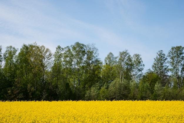 Colza jaune en fleur
