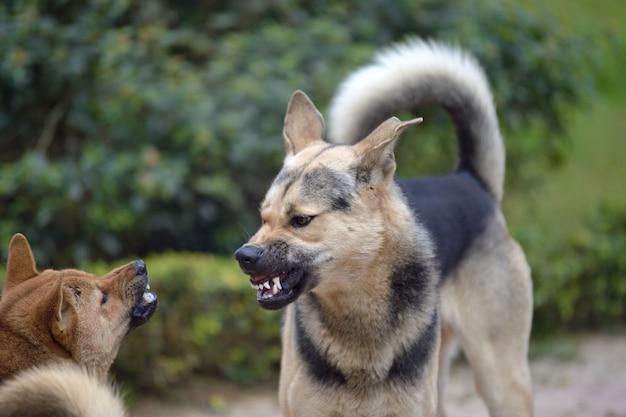 Combat de chien