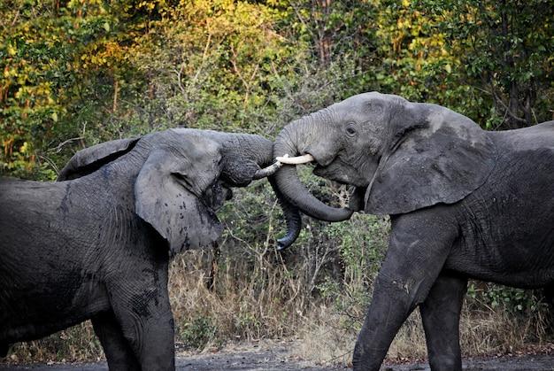 Combat d'éléphants