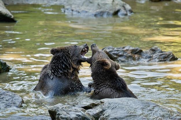 Combat d'été entre les frères ours ursos arctos