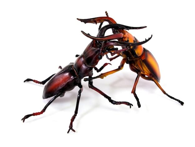 Le combat des gros coléoptères (lucanus cervus)
