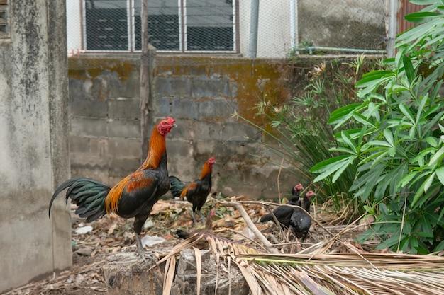Combattant de poulet se tenir sur la souche