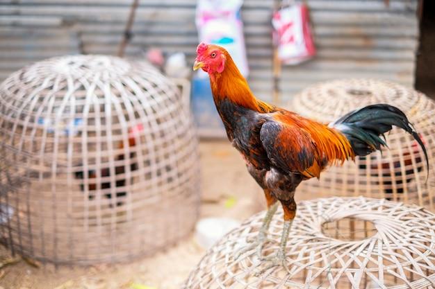 Combattre le gamecock dans la cage de bambou ou le poulet thaï
