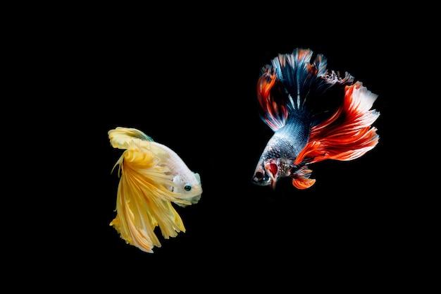 Combattre le poisson isolé sur fond noir