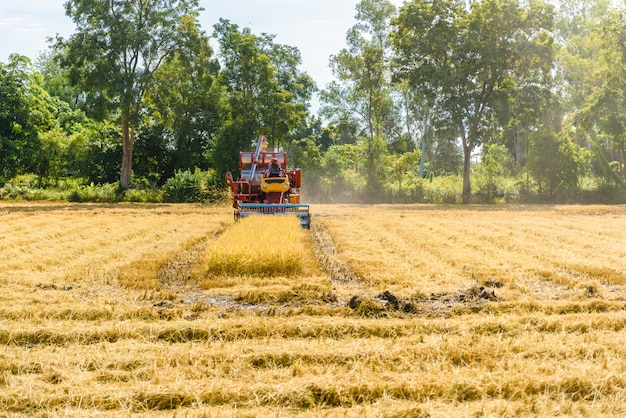 Combinez la moissonneuse en action sur la rizière. la récolte est le processus de cueillette d'une récolte mûre