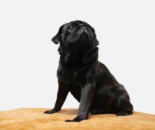 Compagnon chien carlin isolé sur mur blanc