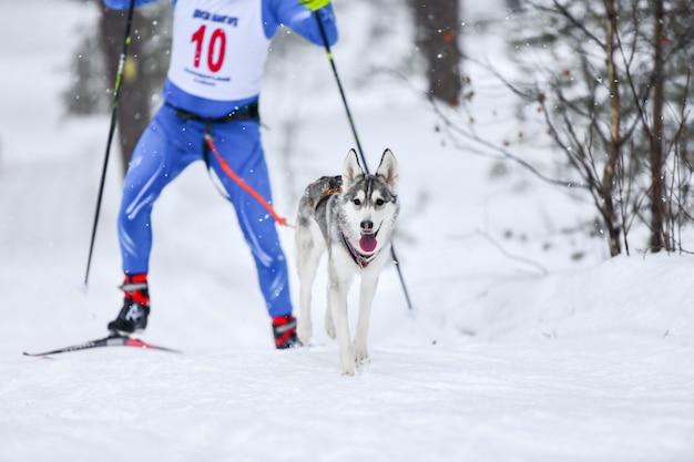 Compétition de skijoring pour chiens