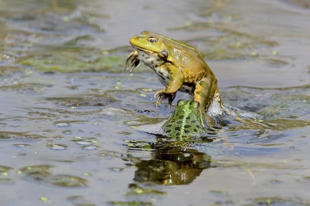 Comportement d'accouplement des grenouilles de l'étang. angle incroyable et scènes d'accouplement incroyables.