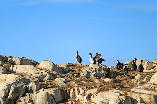 Le comportement de séchage des ailes d'oiseaux cormorans, rocky island dans le canal beagle, ushuaia, argentine