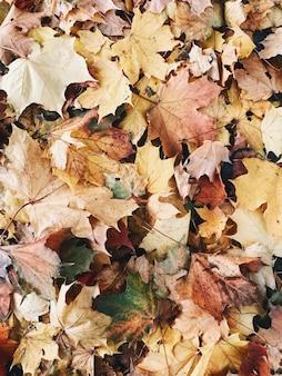 Composition d'automne et d'automne. feuilles d'érable colorées orange, jaunes et vertes