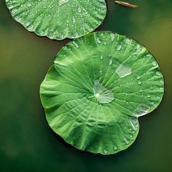 Composition de feuilles de lotus vert dans le lac.