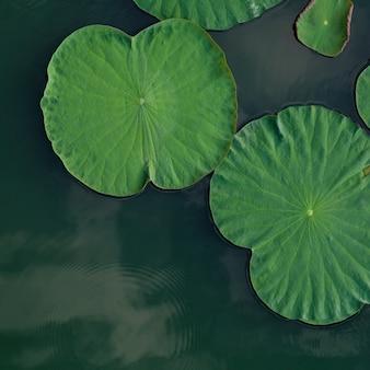 Composition de feuilles de lotus vertes dans le lac.