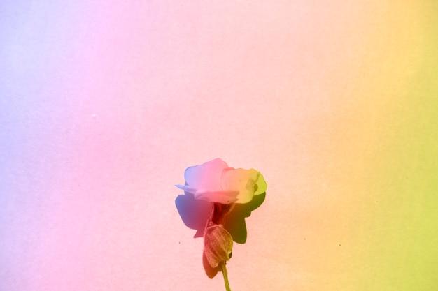 Composition tropicale d'été. fleurs avec dégradé de couleurs holographiques sur fond de papier dégradé. concept d'été