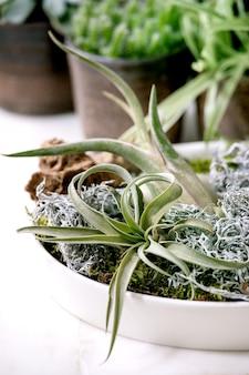 Composition végétale avec air tillandsia, mousse et différentes plantes succulentes eonium, cactus dans des pots en céramique debout sur une table en marbre blanc.
