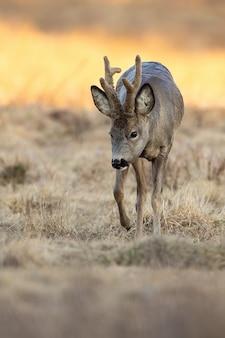 Composition verticale du chevreuil buck se déplaçant sur la steppe au printemps nature