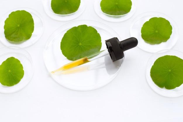 Compte-gouttes de médecine avec des feuilles de centella asiatica vertes fraîches dans des boîtes de pétri sur fond blanc.