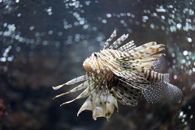Concentrez le lionfish et dangereux.