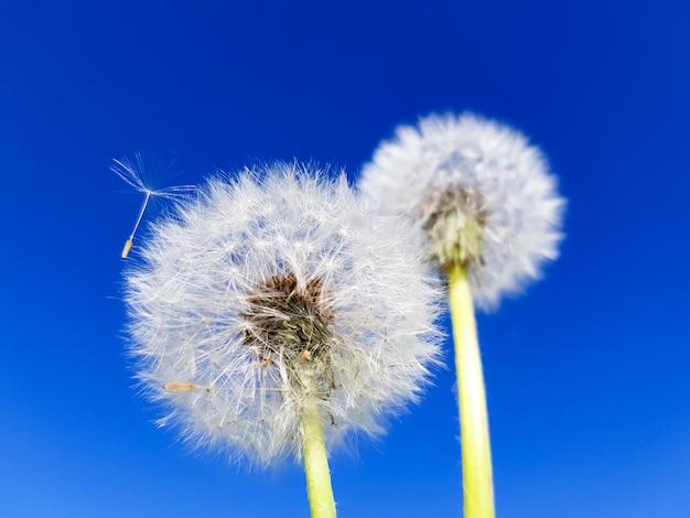 Concept abstrait de l'été. fleur de pissenlit sur fond bleu.
