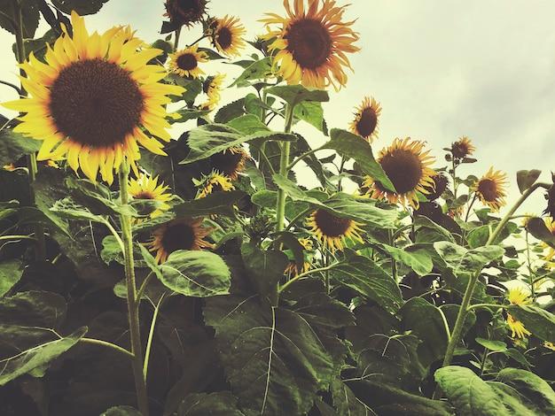 Concept d'agriculture de champ de tournesol