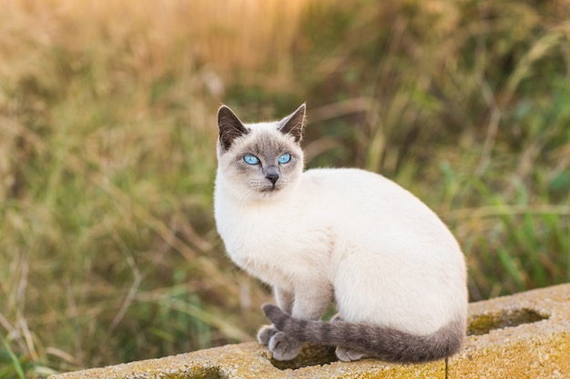 Concept d'animaux de compagnie et animaux de race - portrait du chat siamois aux yeux bleus