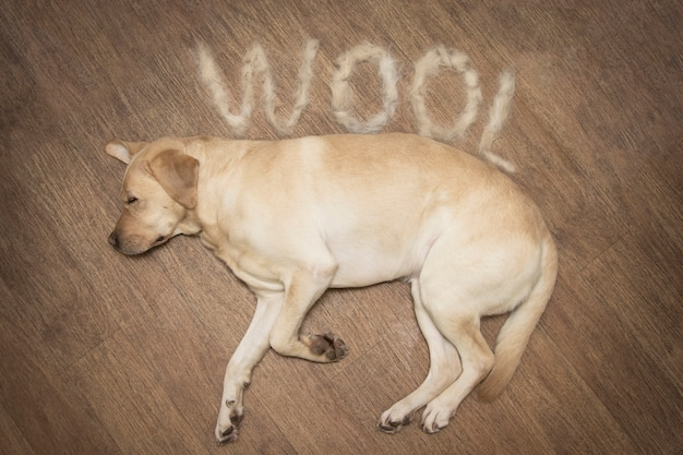 Concept annuel de chiens de mue. labrador est au sol
