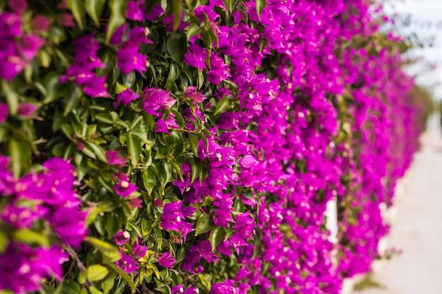 Concept de décoration et de la nature - belles fleurs violettes dans le jardin