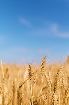 Concept extérieur spot focus d'épis de blé dans le blé de saison des moissons fileld with copy space