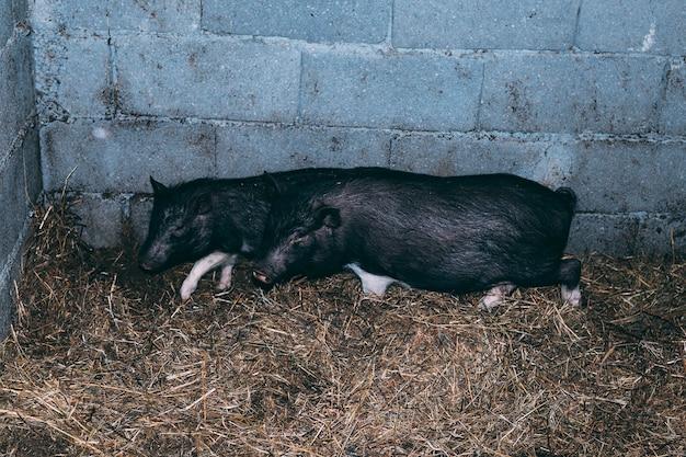 Concept de ferme avec cochon endormi