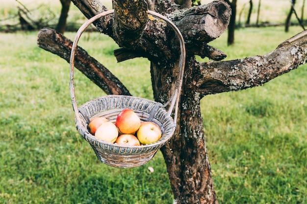 Concept de ferme avec panier de pommes accroché à l'arbre