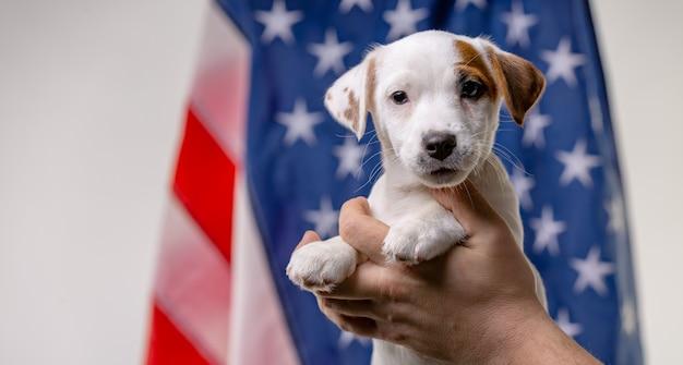 Concept de la fête de l'indépendance américaine, mignon chiot jack russell terrirer dans les mains des hommes posent devant le drapeau américain