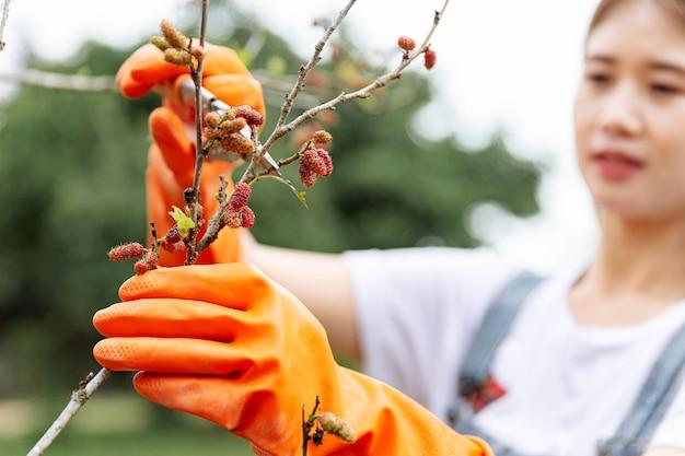 Concept de jardinier féminin une branche du mûrier coupé avec des ciseaux d'élagage par un greenskeeper afin de façonner la forme de l'arbre entier.