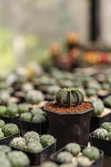 Concept de jardinier féminin un cactus vert foncé concentré au milieu de pots en plastique noir flou d'un autre type de cactus.