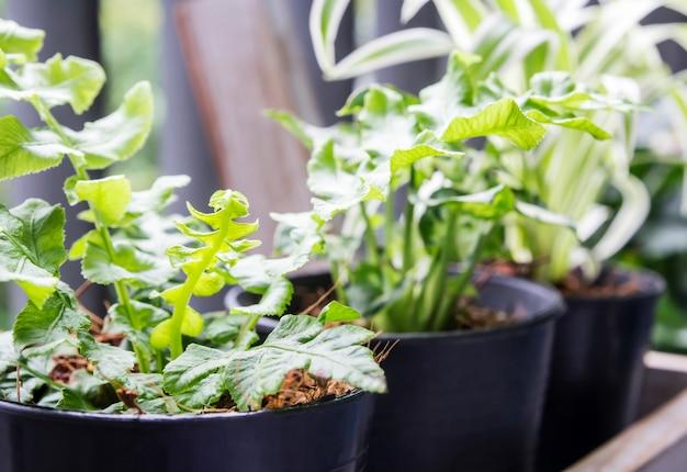 Concept de maison et jardin de vert congé fougère en pot sur le balcon