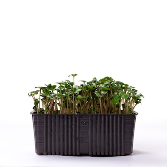 Concept de microverdissement. graines de radis germées vertes, sur fond blanc, espace de copie.