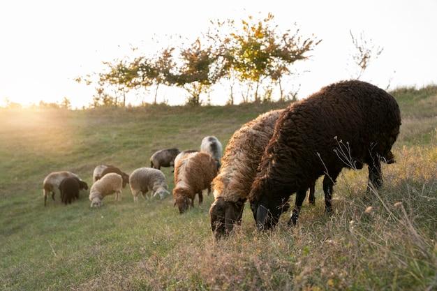 Concept de mode de vie rural avec des moutons