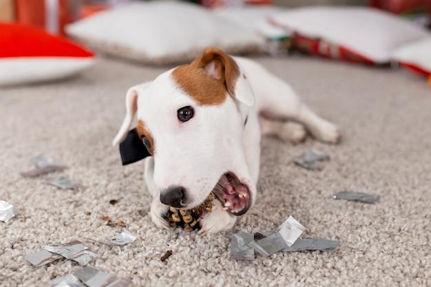 Concept de noël et d'animal familier - jack russell terrier chiot grignote un sapin.