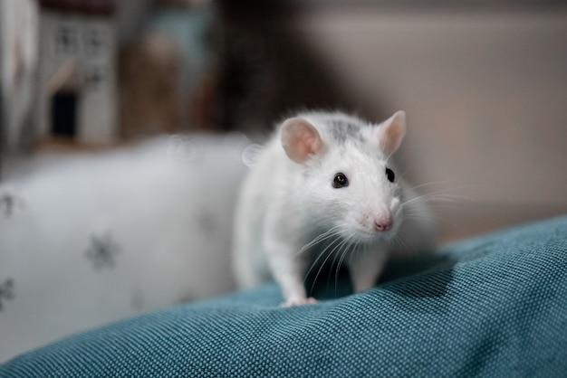 Concept de nouvel an. mignon rat domestique blanc dans un décor de nouvel an. le symbole de 2020 est un rat