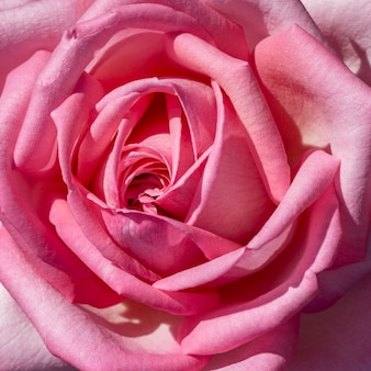 Concept de pétale de rose avec gros plan
