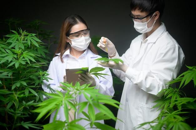 Concept de plantation de cannabis à des fins médicales, un scientifique tenant un tube à essai et un ordinateur portable à analyser sur une ferme de cannabis