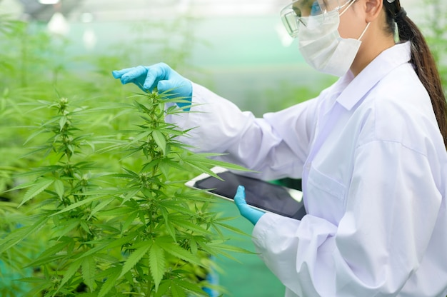 Concept de plantation de cannabis à des fins médicales, un scientifique utilisant une tablette pour collecter des données sur la ferme intérieure de cannabis sativa