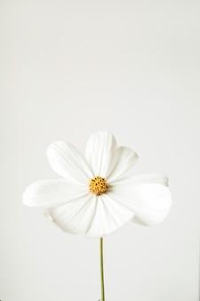 Concept de style minimal. fleur de camomille marguerite blanche contre blanc. créative nature morte été, concept de printemps.