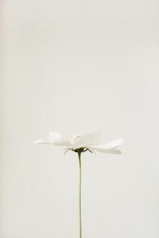 Concept de style minimal. fleur de camomille marguerite blanche contre blanc. été de mode de vie créatif, concept de printemps.